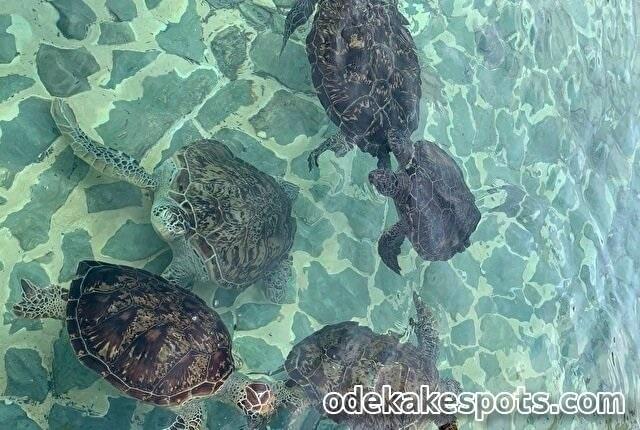 シギラ プールヴィララグーン 宮古島 ウミガメ