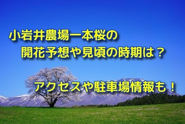 小岩井農場一本桜の開花予想や見頃の時期は?アクセスや駐車場情報も!